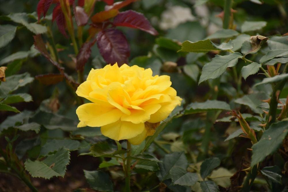 friesia roze